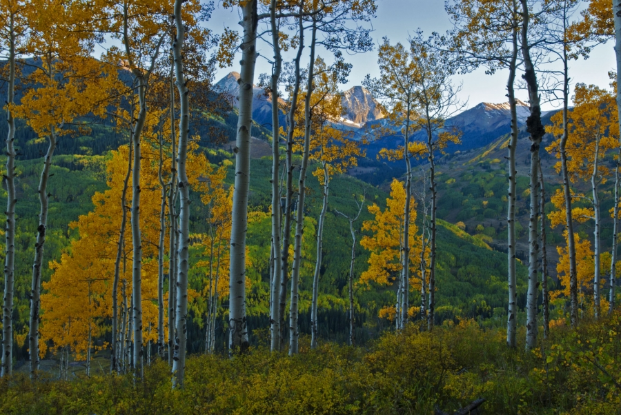 Twilight Through the Aspen +